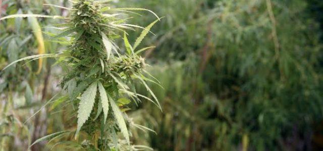 Ao vivo: ANVISA discute descriminalização do uso e produção da cannabis medicinal